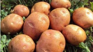 البطاطس التصنيعي